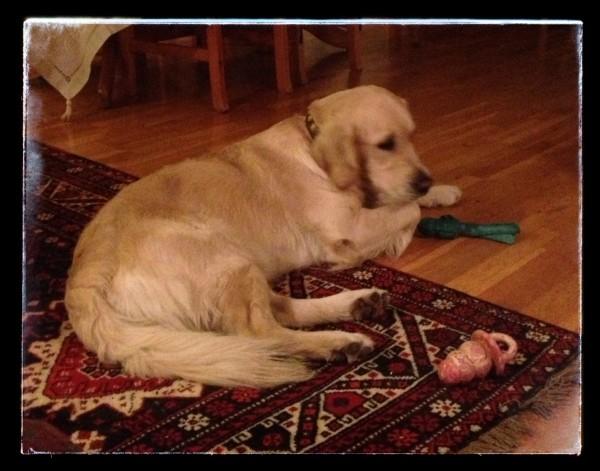 Rolig hund med lekene sine tilgjengelig